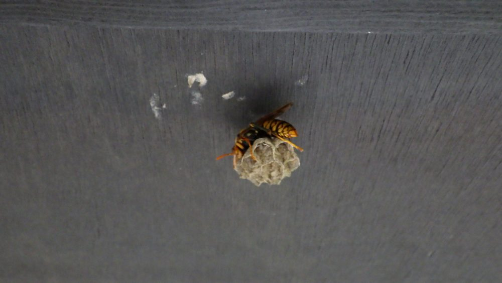 アシナガバチの嬢王蜂