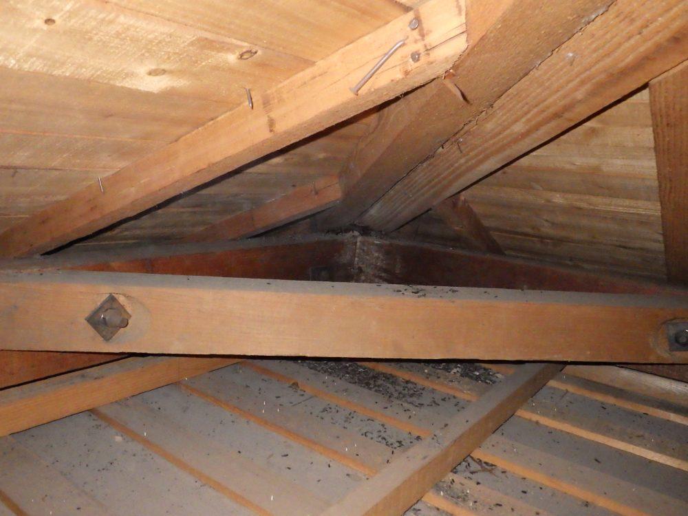 天井裏に住み着いたコウモリ40頭以上…