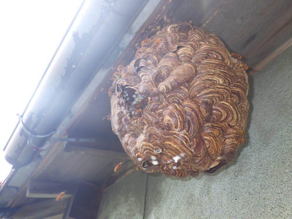 キイロスズメバチ・コガタスズメバチの駆除