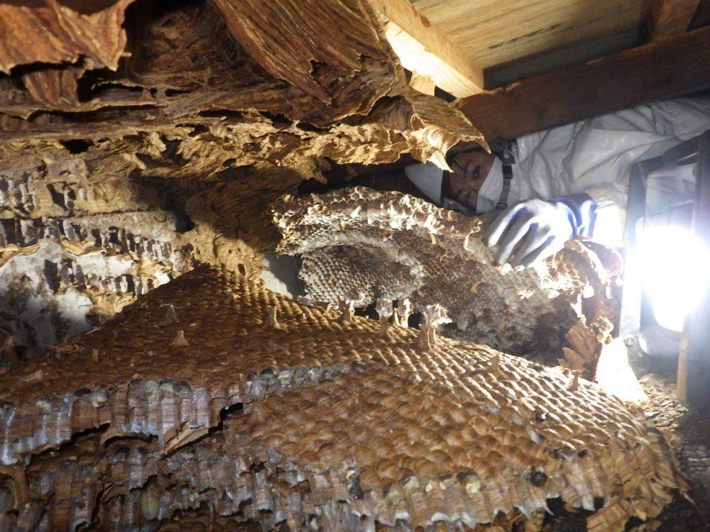 巨大な巣…オオスズメバチ駆除